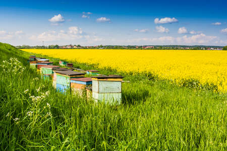 apiary: Bee apiary put the blooming rape field. Stock Photo