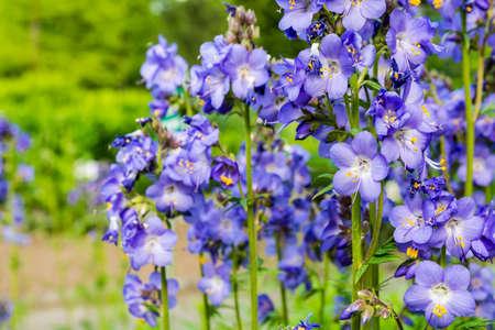 valerian plant: Polemonium caeruleum L., Jacobs-ladder, Greek valerian - Honey plant.