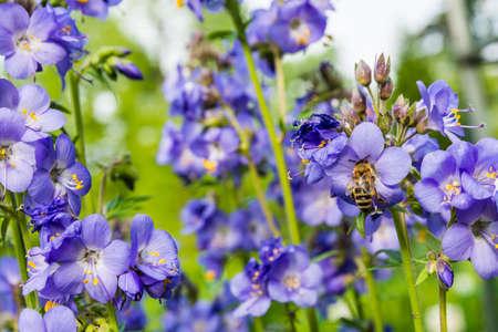 mellifera: Bee collects nectar from a flower (Polemonium caeruleum L., Jacobs-ladder, Greek valerian).