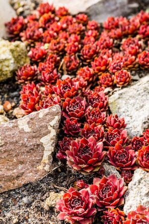 papaver: Rosette - Sempervivum arachnoideum  - Red Papaver. Stock Photo