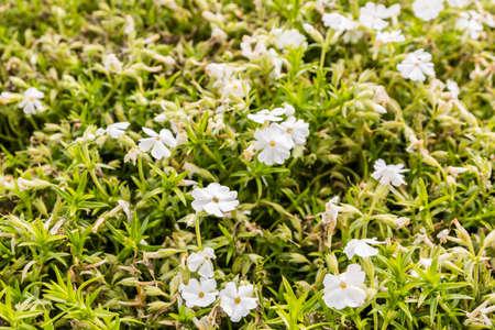 nivalis: Phlox nivalis (trailing phlox) is a species of flowering plant in the phlox family.