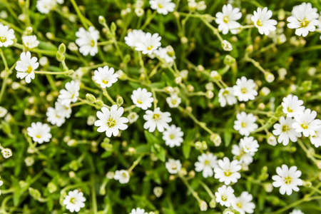 perennial plant: Cerastium alpinum (alpine mouse-ear, alpine chickweed) is a species of mat forming perennial plant.