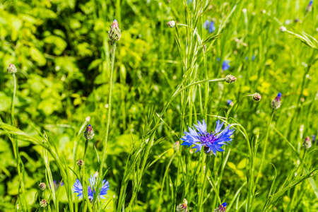 centaurea: Centaurea cyanus, cornflower is an annual flowering plant in the family Asteraceae. Stock Photo