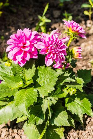cav: Dahlia Cav. beautiful flower, often grown in gardens. Stock Photo