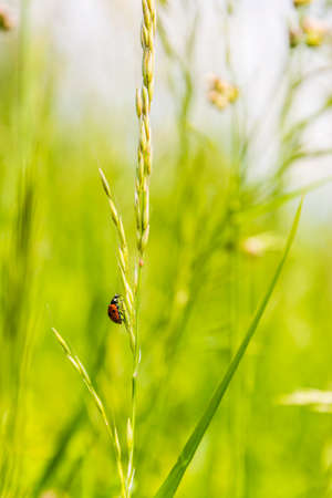 coccinella: Coccinella septempunctata (seven-spot ladybird, seven-spotted ladybug, C-7) on grass.