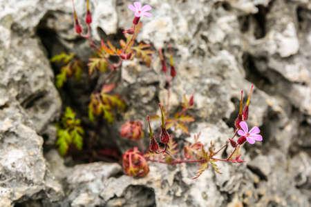 indigenous medicine: Geranium robertianum (Robertiella robertiana) - pink flower with family Geraniaceae.