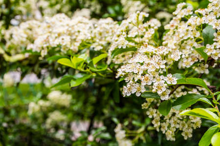 hedgerow: Flowers blooming hedge - Pyracantha coccinea (scarlet firethorn)..