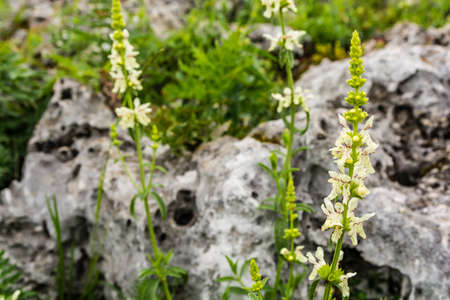 calcium carbonate: Stachys recta, stiff hedgenettle, perennial yellow-woundwort.