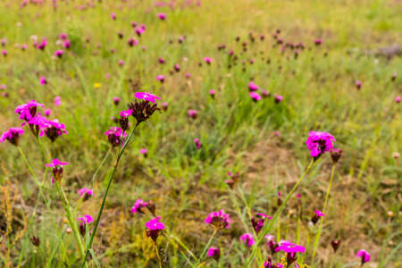 glade: Glade of blooming flowers Dianthus carthusianorum (Carthusian Pink). Stock Photo