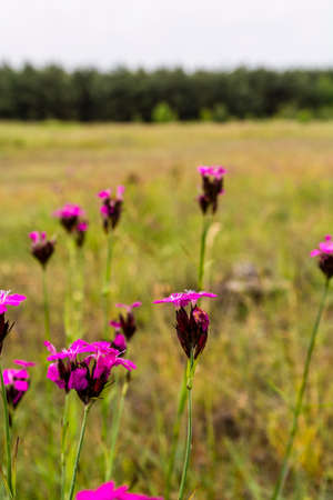 herba: Glade with pink flowers Dianthus carthusianorum (Carthusian Pink)..