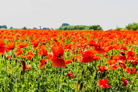 papaver rhoeas: Red of blooming poppy (Papaver rhoeas) flowers field.