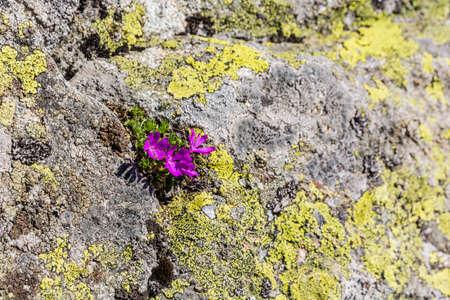 plants species: Primula minima L. specie di piante della famiglia delle Primulaceae.