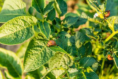 scarabaeidae: Larva Colorado beetle (ten-striped spearman, ten-lined potato beetle, potato bug) eats potato leaves.