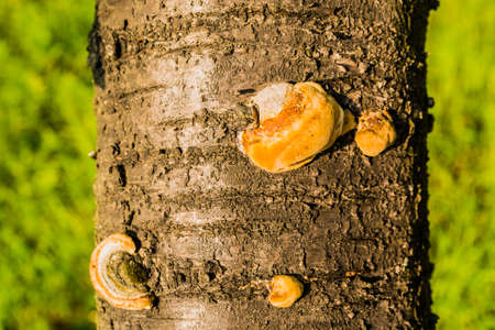 pers: Phellinus pomaceus is a plant pathogen particularly common on Prunus species. Stock Photo