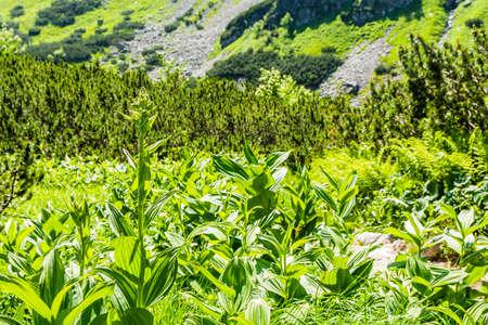 perianth: Community poisonous plants (Veratrum lobelianum Bernh.) of the family Melanthiaceae.