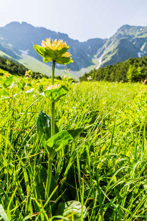 l natural: Plant (Gentiana punctata L..) flowering in a meadow in the mountains. Stock Photo
