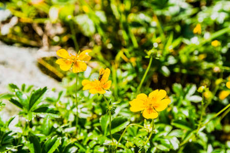 rosaceae: Yellow flowers Potentilla aurea L.. from the family Rosaceae.
