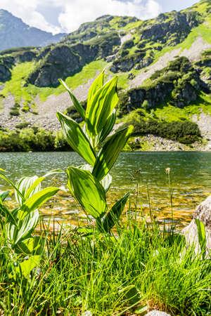 alpine tundra: Veratrum lobelianum Bernh. the pond in the mountains.