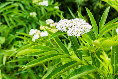 inflorescence: Inflorescence bush (Sambucus ebulus L.) of the family Adoxaceae. Stock Photo