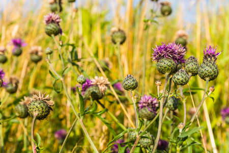 perennial plant: Centaurea scabiosa or Greater Knapweed is a perennial plant of the genus Centaurea.