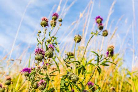 herba: Flowering plant (Centaurea scabiosa, Greater Knapweed) in a summer meadow.