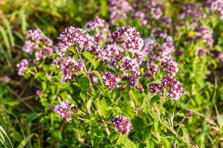wild marjoram: Pollinated flower plant by an insect of the order Hymenoptera.
