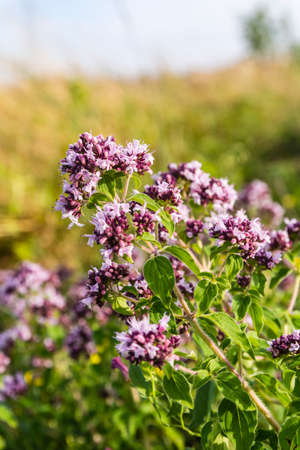 origanum: Oregano (Origanum vulgare) plant used as a herb in cooking. Stock Photo