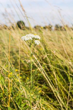 yarrow: Achillea millefolium (yarrow, common yarrow) plant in the meadow.