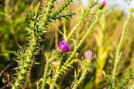 injurious: Carduus acanthoides flower head - plant of the tribe Cynareae.