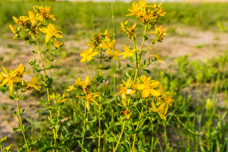 herba: Yellow flowering plant Hypericum perforatum in the wild.