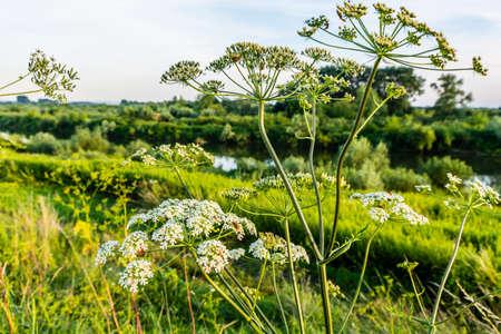 herba: Heracleum sphondylium (hogweed, common hogweed, cow parsnip) in nature. Stock Photo