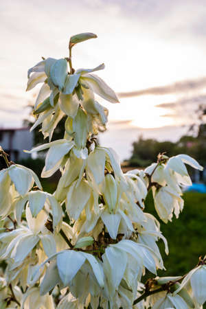 yucca: Sprig of flowering Yucca L. flowers.