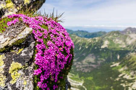 barrera: Silene acaulis es una pequeña montaña de flores silvestres que habitan en que es común en todo el alta tundra ártica y en las montañas más altas. Foto de archivo