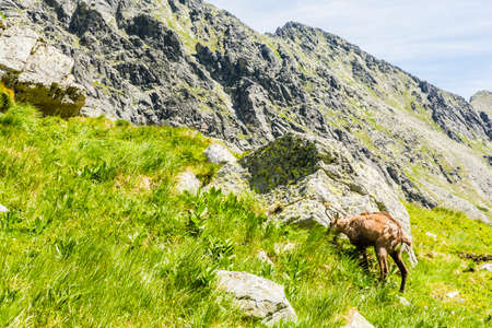Tatra chamois grazing on fresh grass in the valley.