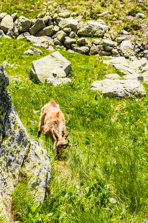 Tatra chamois grazing on young plants in the valley. Stock Photo