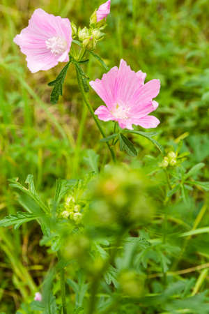 Pink flowers (Malva alcea) on a green meadow.