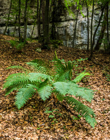 polypodiopsida: Fern growing in the forest as one of the elements of undergrowth.