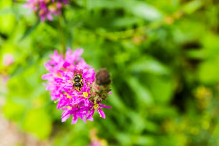 Close-up of an insect of the order Hymenoptera on a blooming flower. Stock Photo