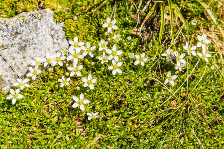 alpine tundra: Blooming white flowers in the floor (Alpine tundra) in the mountains.