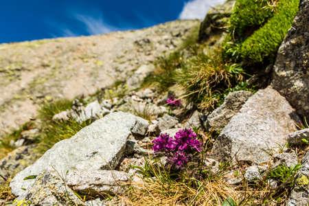 alpine tundra: Flourishing plant (Pedicularis verticillata, whorled lousewort) the floor alpine tundra. Stock Photo