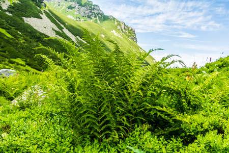 polypodiopsida: Fern - Athyrium distentifolium (Alpine Lady-fern).