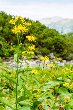 herba: Flowering plant (Doronicum austriacum Jacq.) on the river in the mountains.