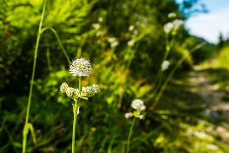 herba: Astrantia major (great masterwort) is a species of flowering plant in the family Apiaceae.