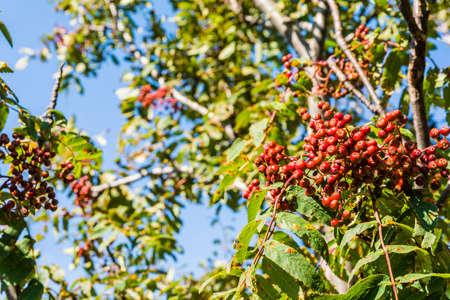 sorbus aucuparia: Sprig of ripe red berries Sorbus aucuparia.