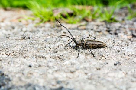 cerambycidae: Beetle (Monochamus sartor) in the family Cerambycidae seen in profile. Stock Photo