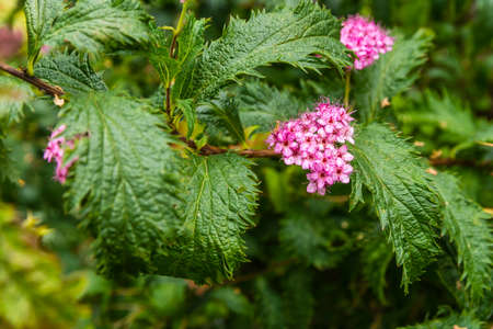 japonica: Pink flowers of the shrub Spiraea japonica.