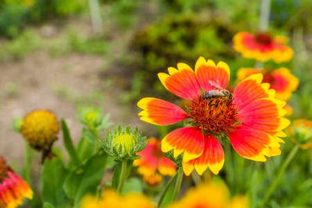 pollinate: Bee collects nectar and also pollinate flower (Gaillardia aristata).