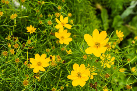 Coreopsis verticillata is species of tickseed in the Asteraceae.