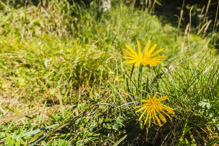 Yellow flower (Tragopogon orientalis L.) on the meadow.