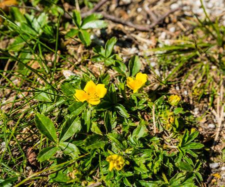 Yellow flower Potentilla aurea L..